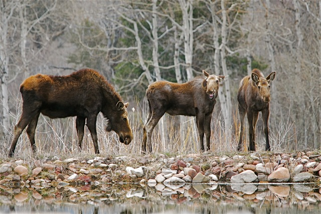 Many Moose