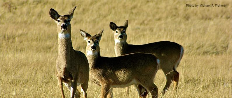 Deers in Summer