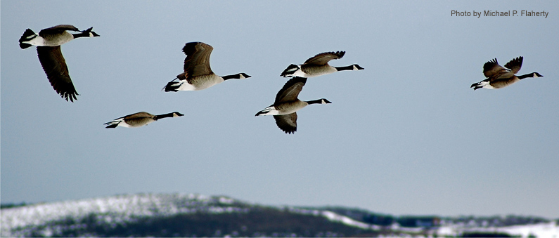 Geese over Ranch Place