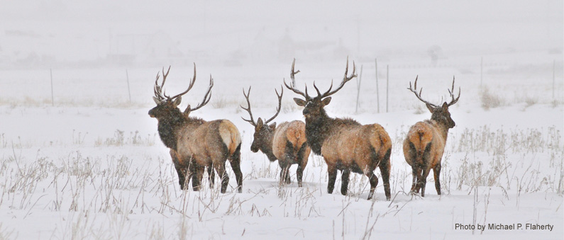 Deers in Winter